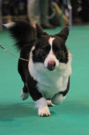 Crufts 2014 Best of Breed